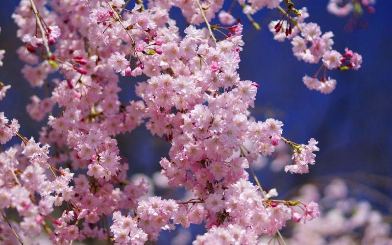 nature flowers pink flowers wallpaper