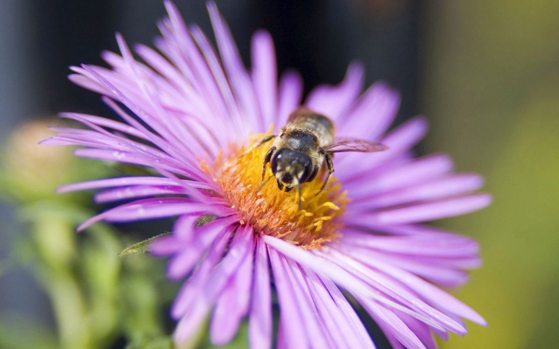 insects bees purple flowers wallpaper