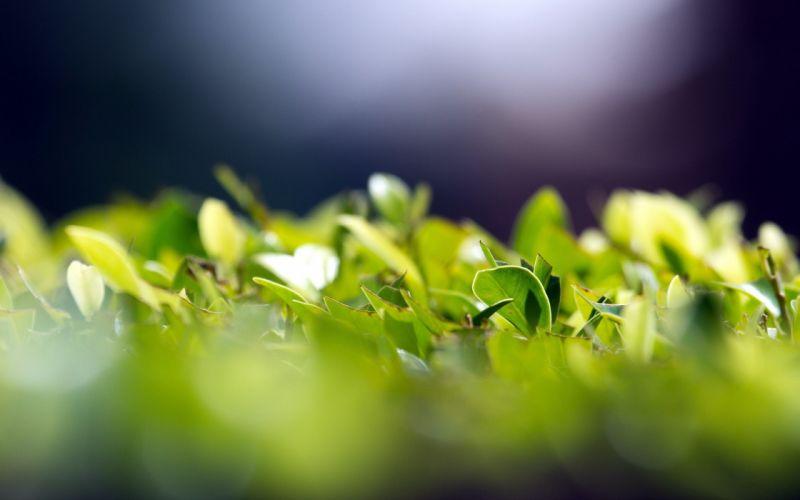 green leaves macro herbs wallpaper