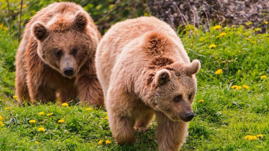 nature wall animals grizzly bears bears wallpaper
