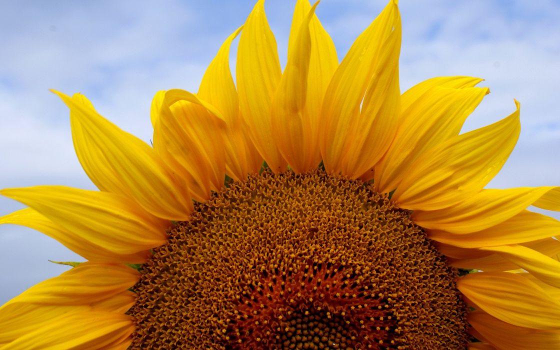 flowers sunflowers wallpaper