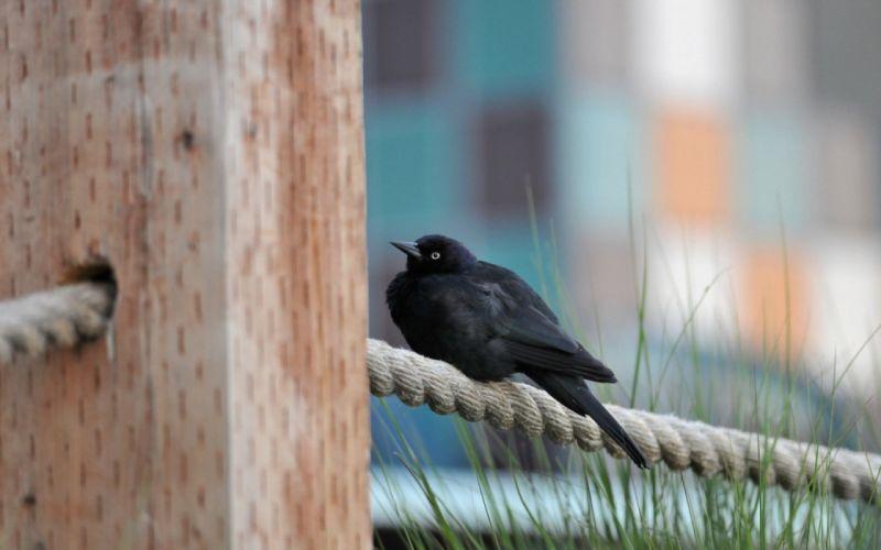 Black Bird wallpaper