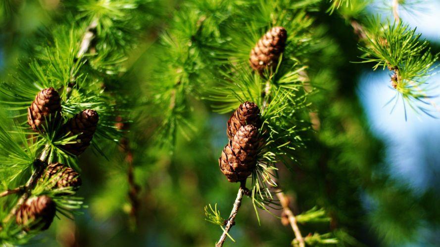nature trees cones wallpaper