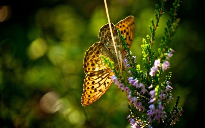 flowers insects plants bokeh butterflies wallpaper