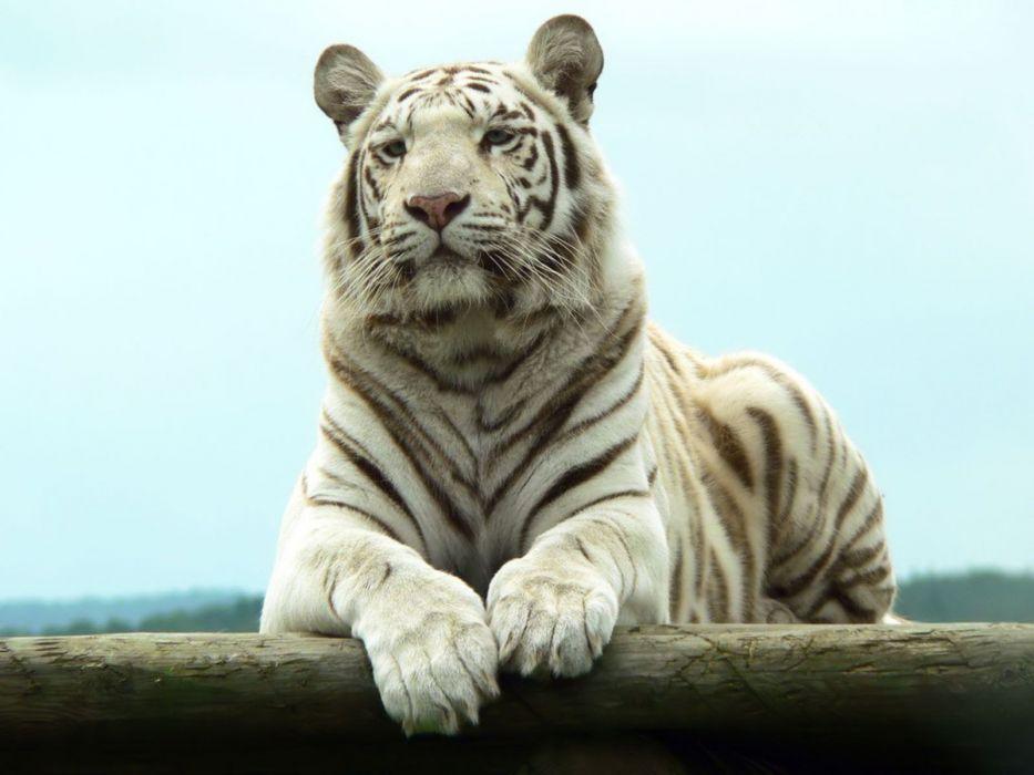 white tiger Bengal wallpaper