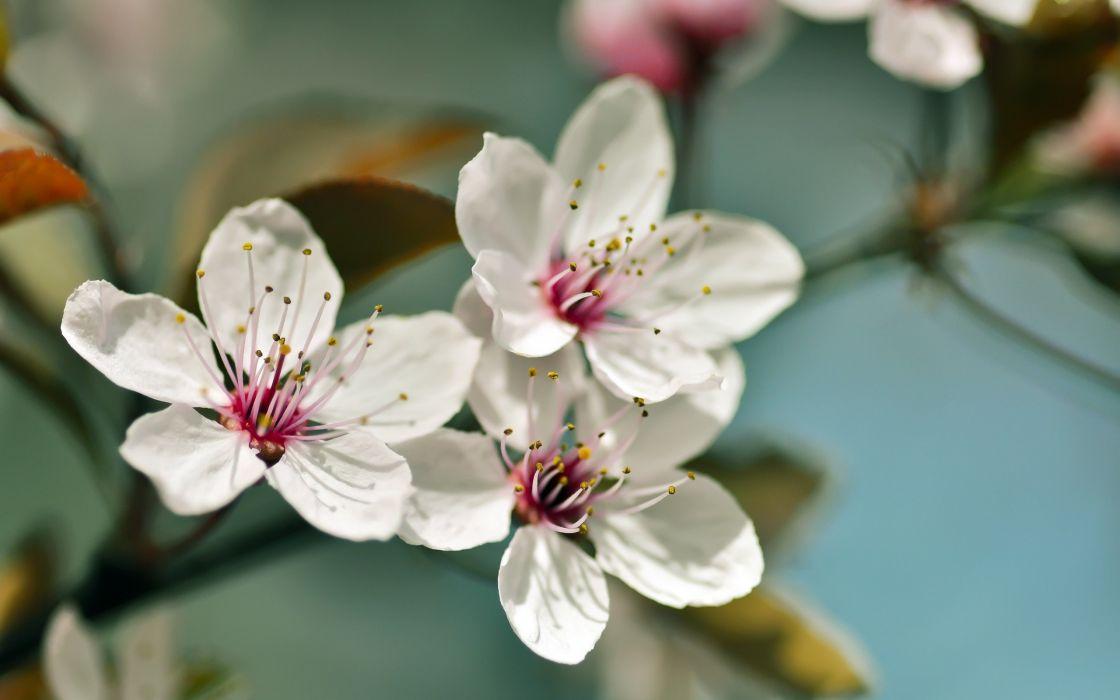 flowers Blossom white flowers wallpaper