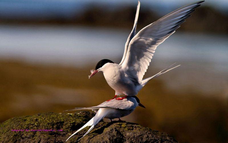 birds arctic tern wallpaper