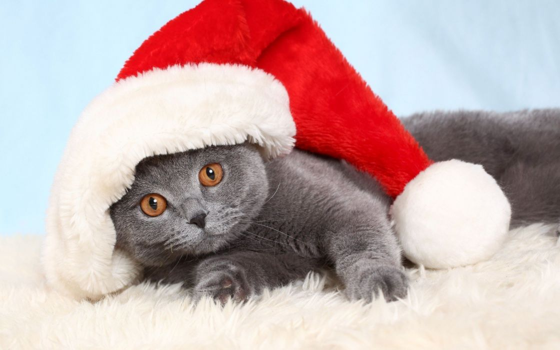 cats animals Christmas British Shorthair wallpaper