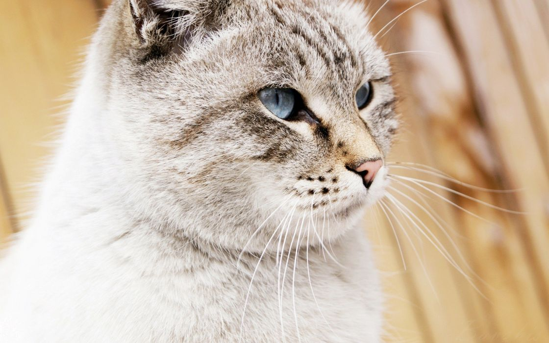 cats blue eyes animals wallpaper