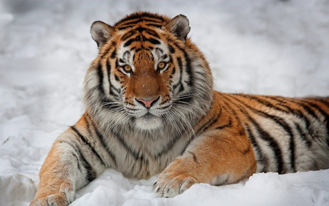 snow animals tigers wallpaper