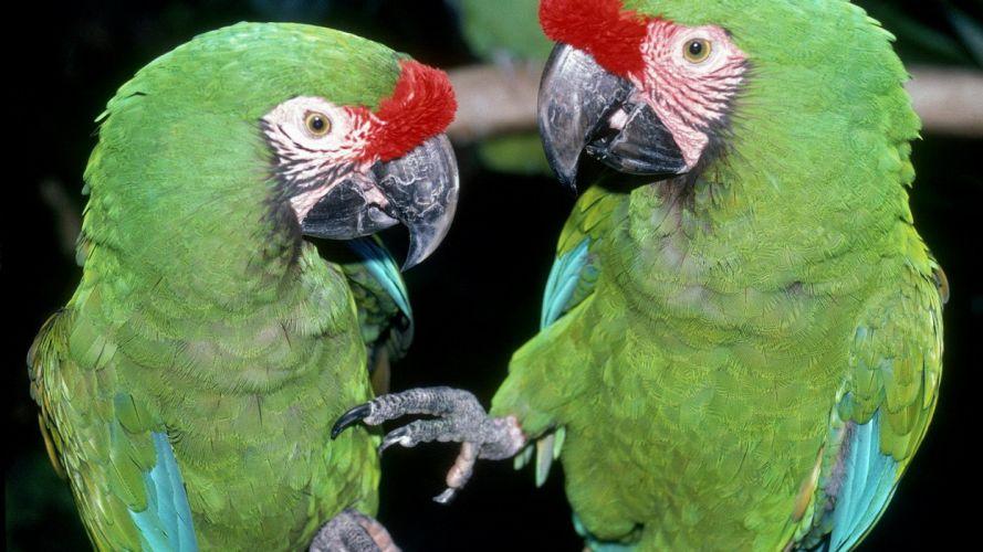 birds parrots wallpaper