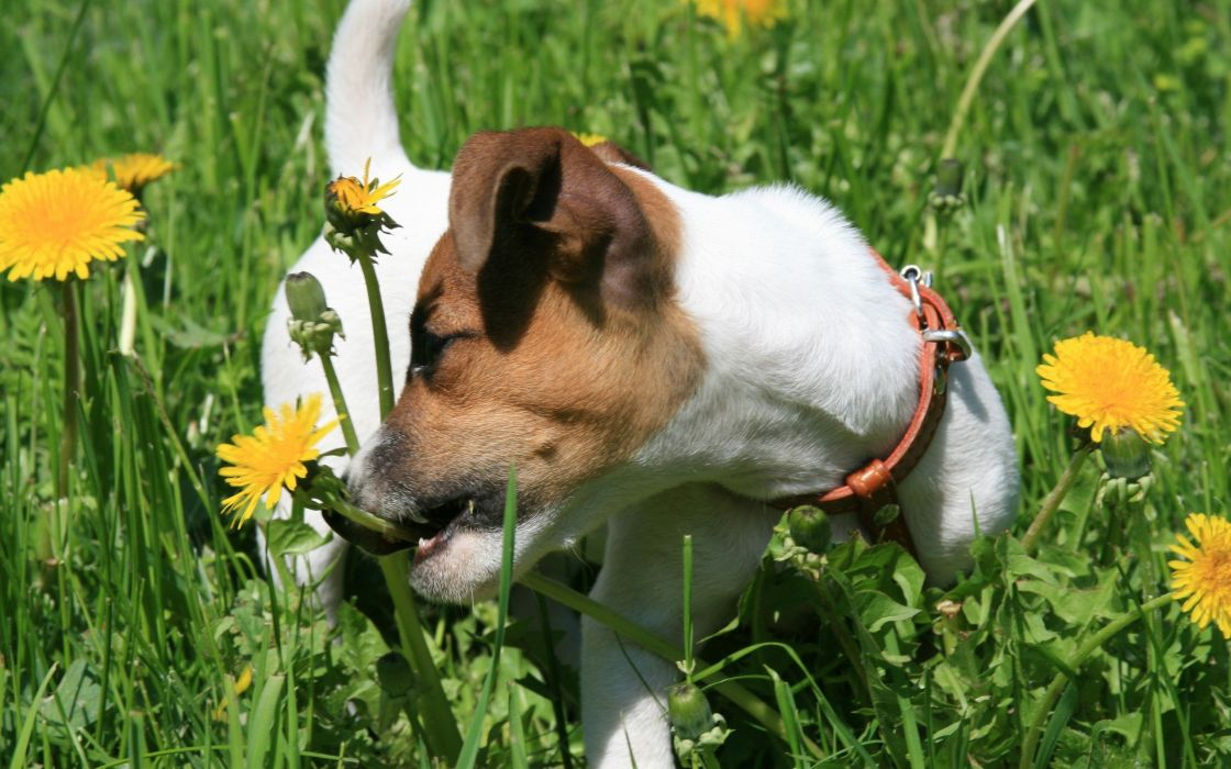 flowers animals dogs Jack Russell terrier wallpaper