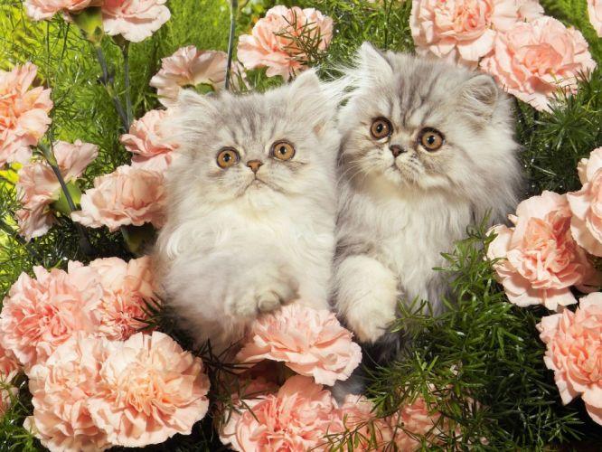 nature kittens Persian carnations wallpaper