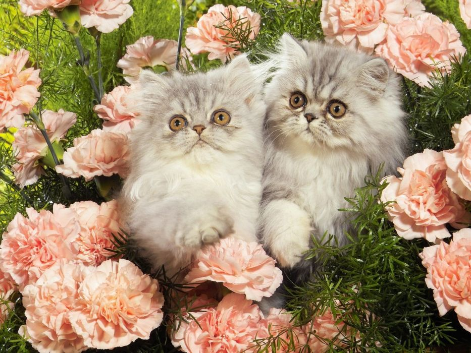 nature kittens Persian carnations wallpaper