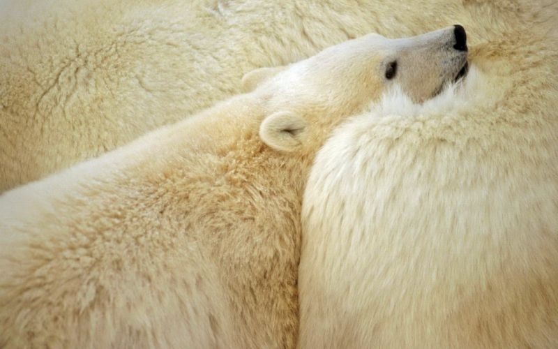 animals polar bears wallpaper