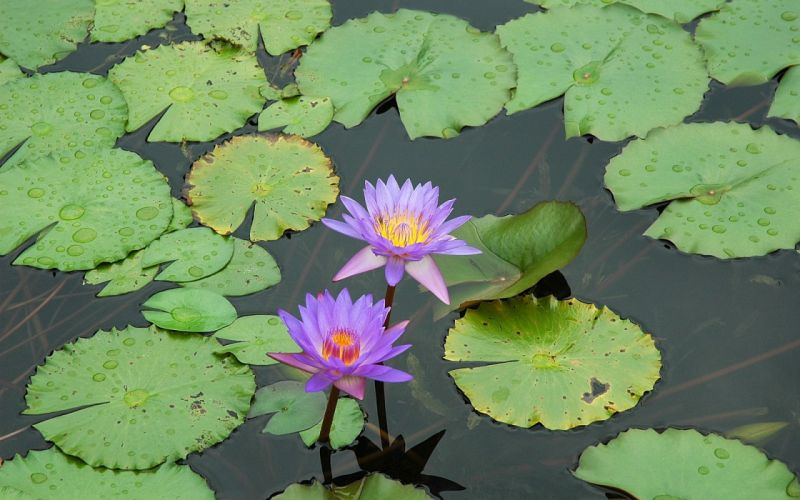 flowers plants lily pads water lilies wallpaper