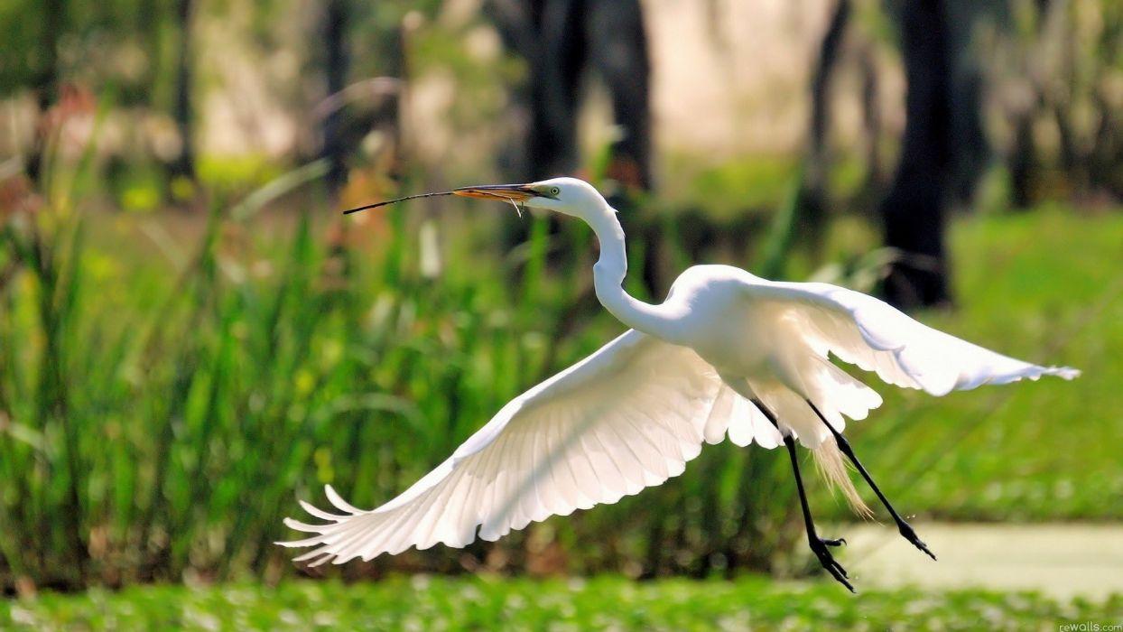 nature flying birds herons great egret egrets wallpaper