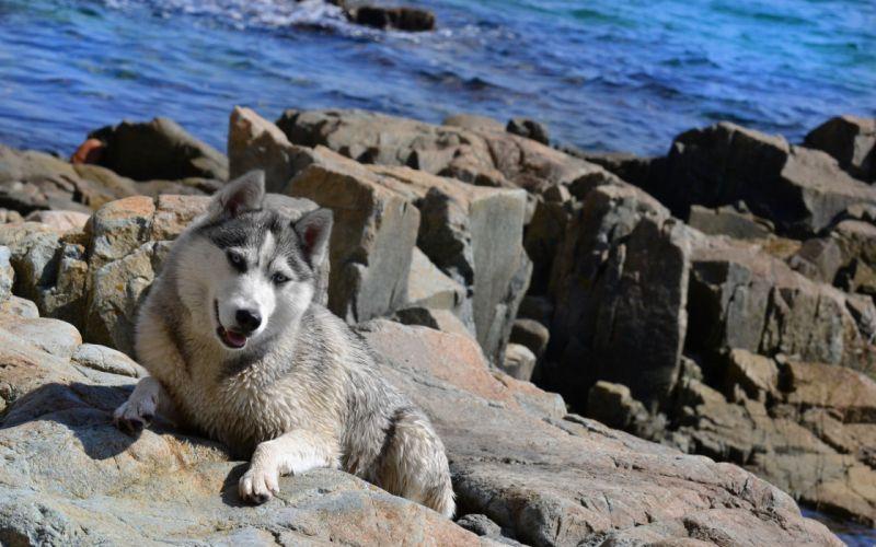 animals dogs husky wallpaper