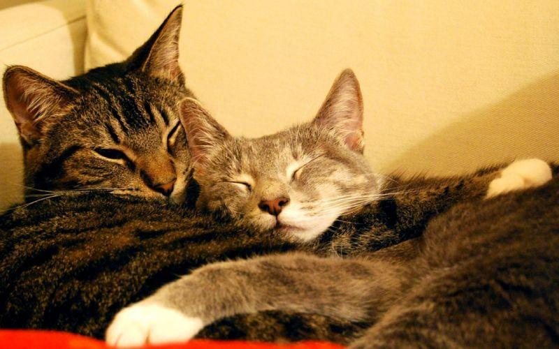 cats animals sleeping hugging wallpaper
