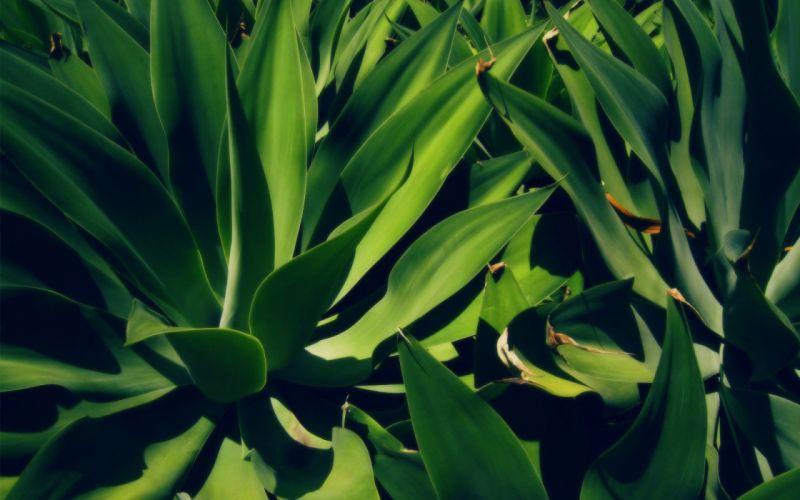 nature plants Aloe vera wallpaper
