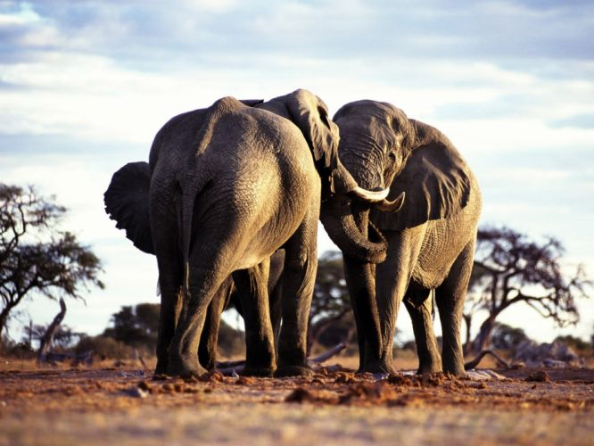 animals wildlife elephants wallpaper