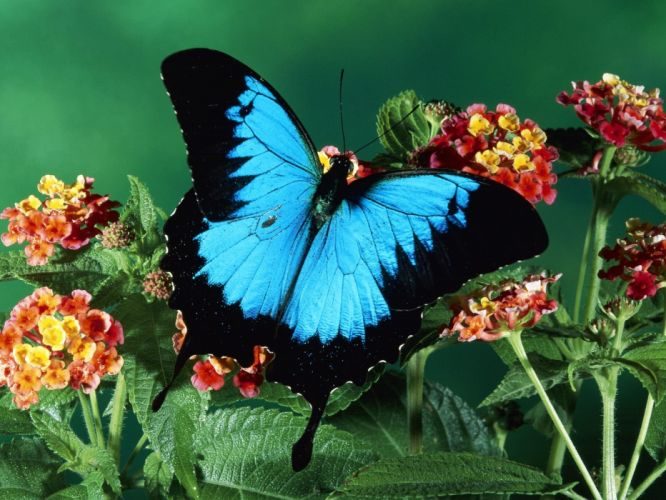 insects butterflies wallpaper