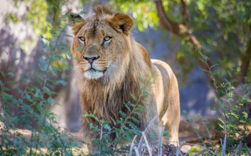 animals lions wild cats wallpaper