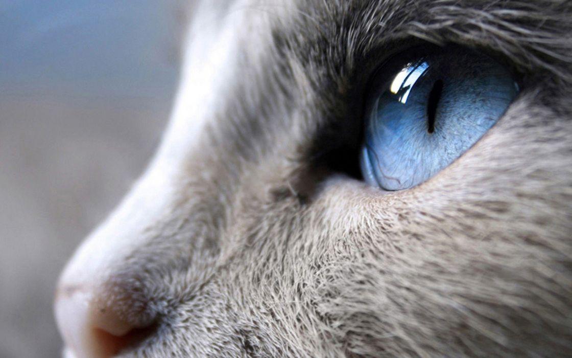 close-up cats blue eyes animals wallpaper