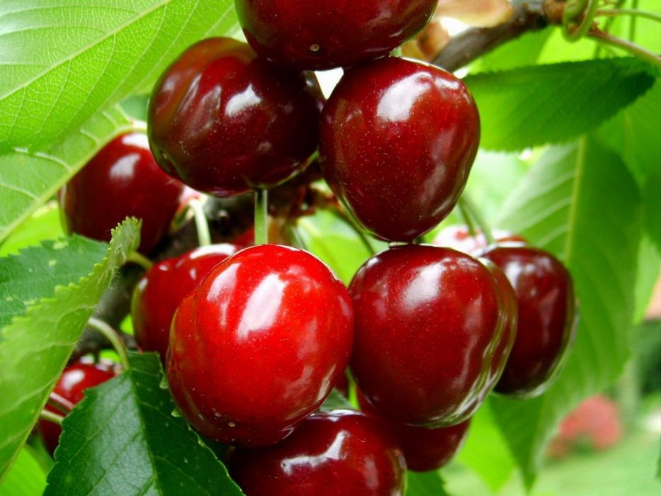 fruits cherries wallpaper