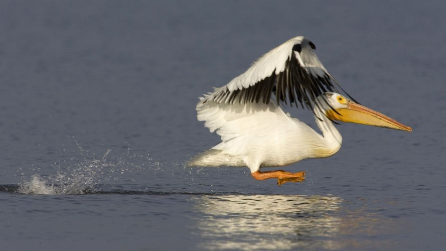 American nature white birds pelicans wallpaper