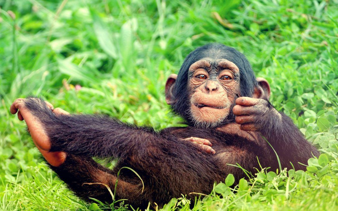 animals leaves lying down monkeys chimpanzee baby animals wallpaper