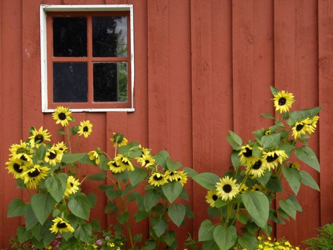 red Alaska parks barn Pioneer sunflowers wallpaper