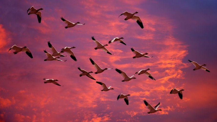 snow Washington geese wallpaper