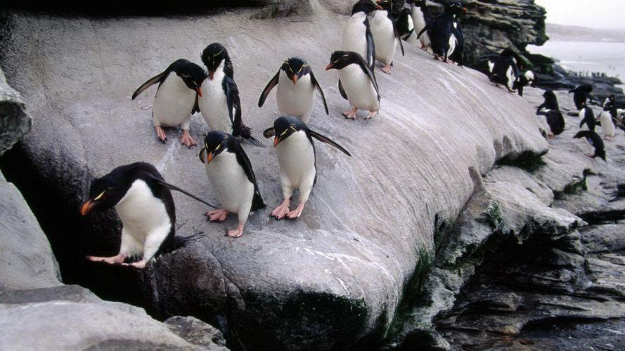 birds penguins Rockhopper Penguins wallpaper