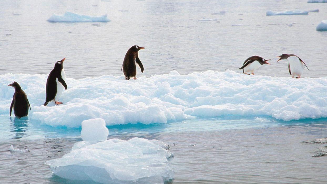 birds penguins gentoo Antarctica scene wallpaper