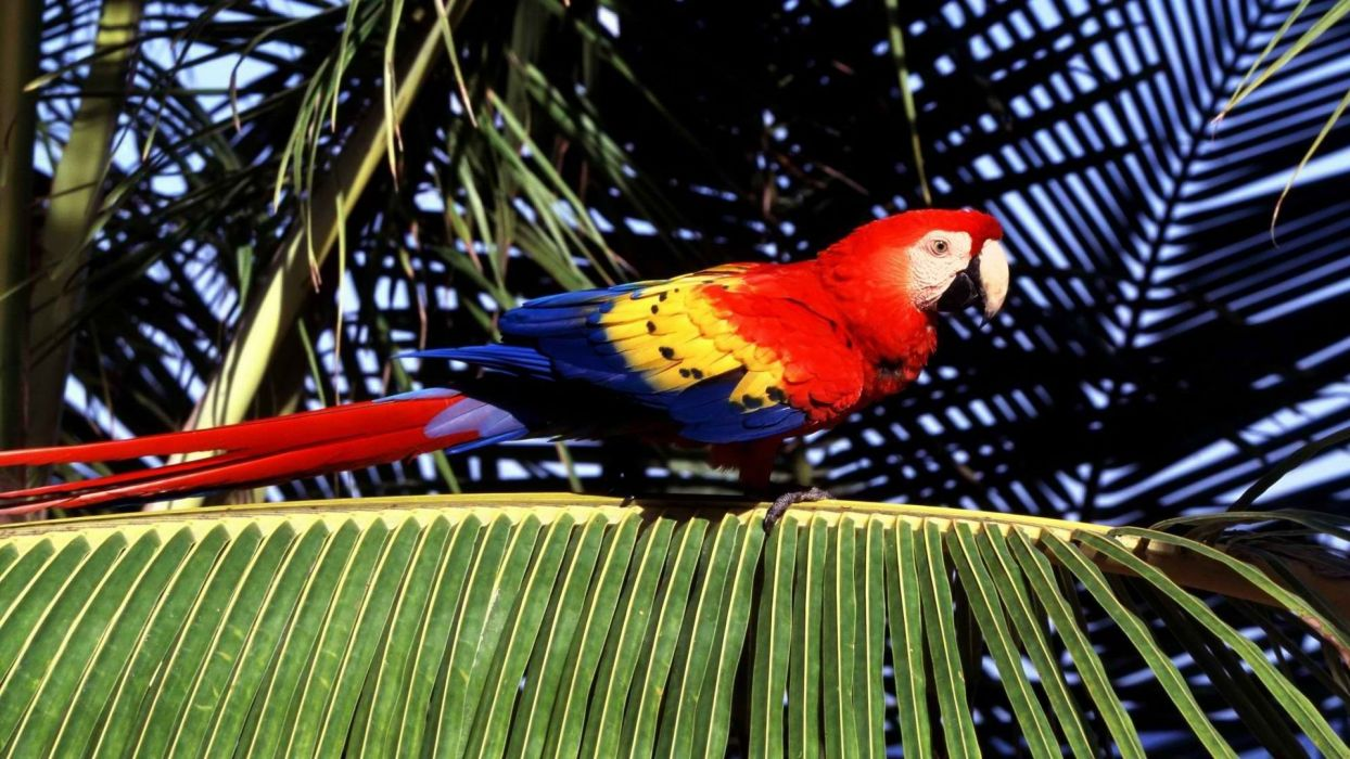 birds tropical parrots Scarlet Macaws Macaw palm leaves wallpaper