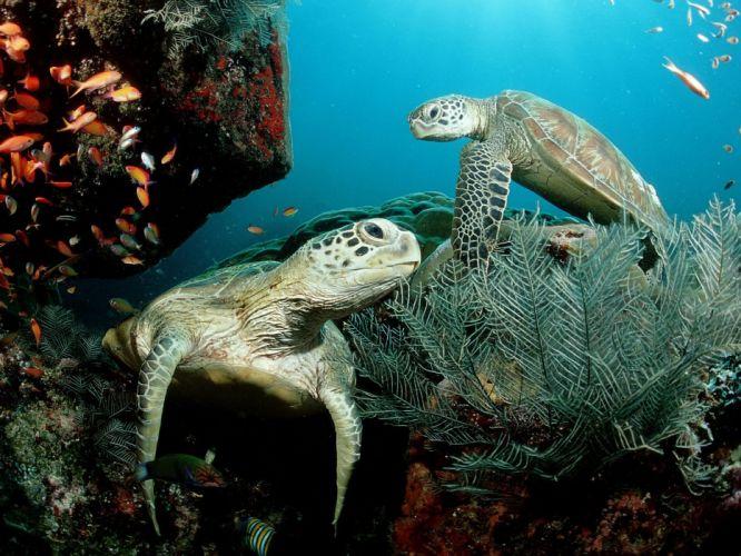 fish turtles sea turtles underwater wallpaper