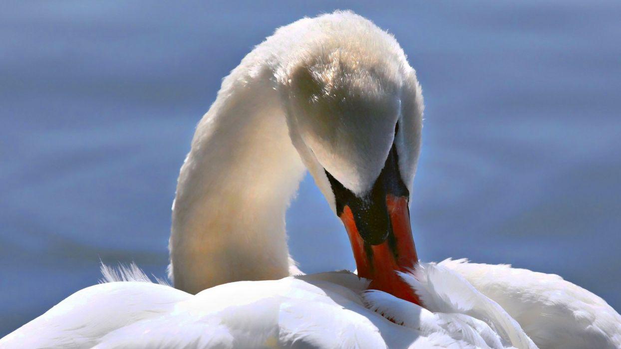 nature birds swans wallpaper