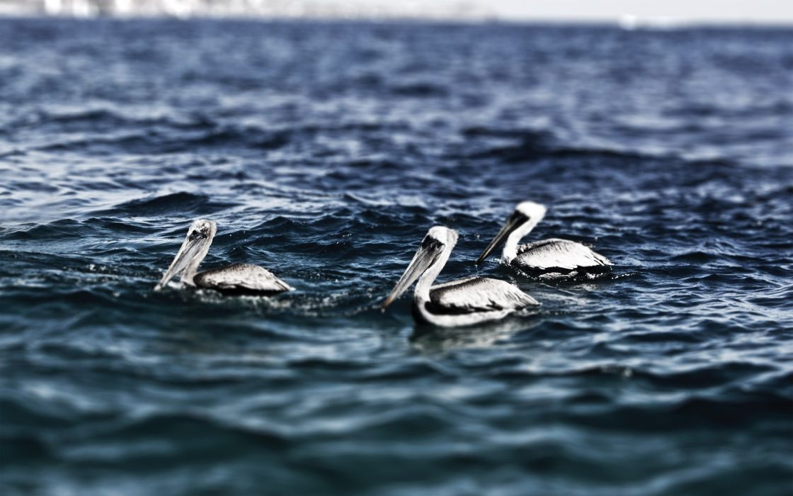 nature birds waves animals HDR photography pelicans sea wallpaper