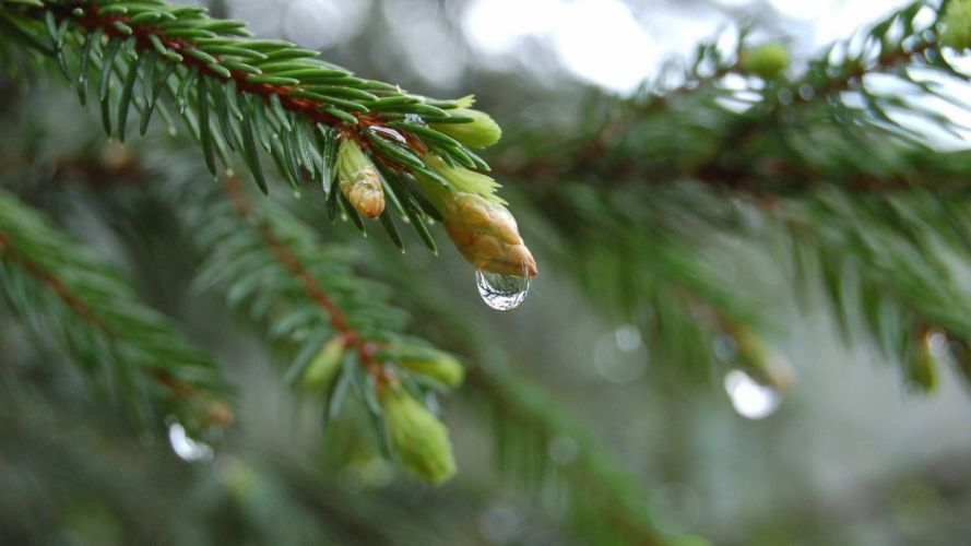 close-up nature trees simple branches pine trees wallpaper