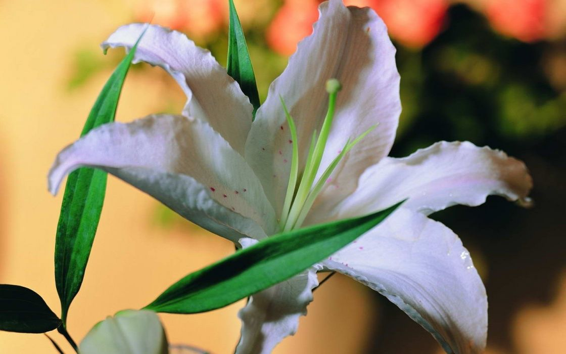 nature flowers plants lilies wallpaper