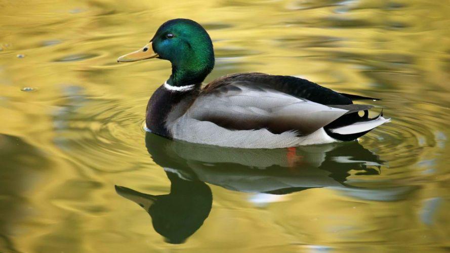 birds ducks ponds golden ripples reflections wallpaper