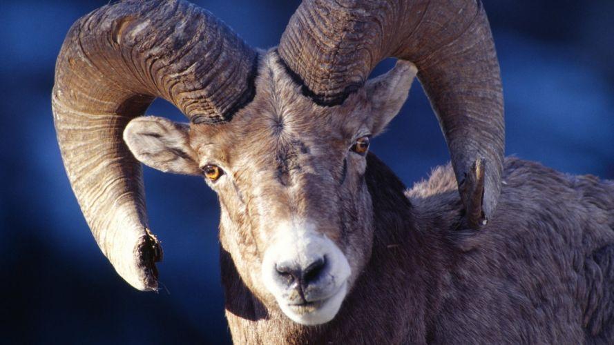 animals sheep wallpaper