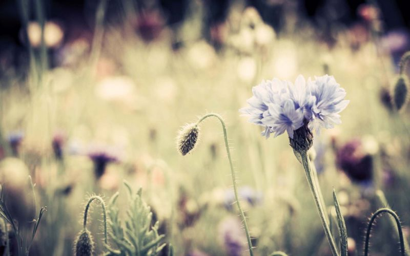 flowers Cornflower wallpaper