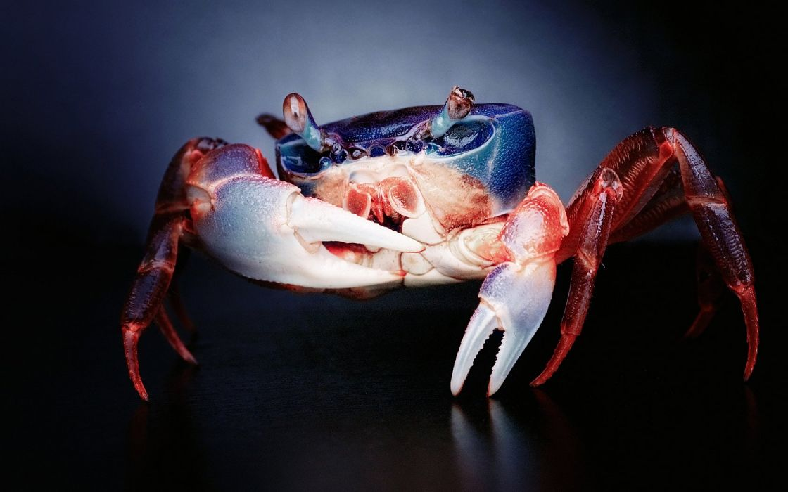 animals crabs wallpaper