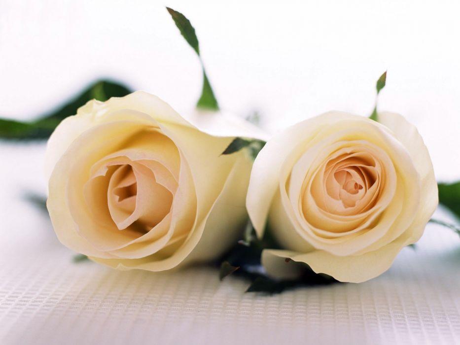flowers white roses roses yellow rose wallpaper