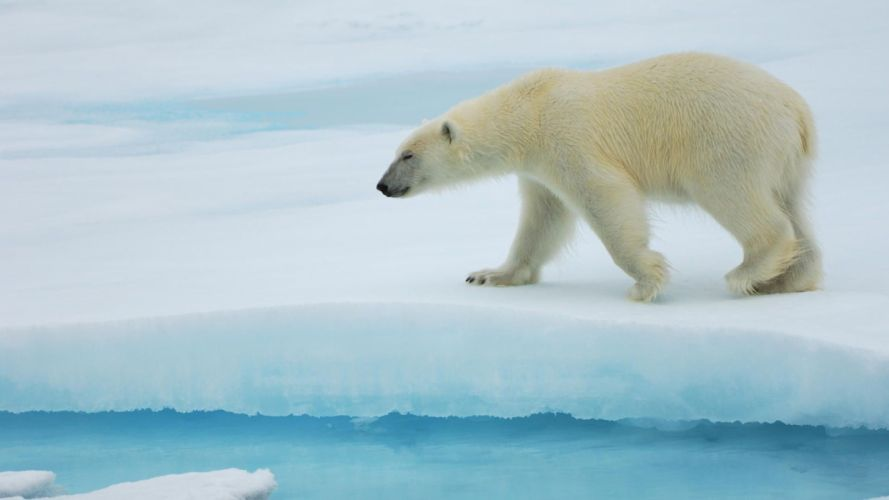 ice nature animals polar bears wallpaper