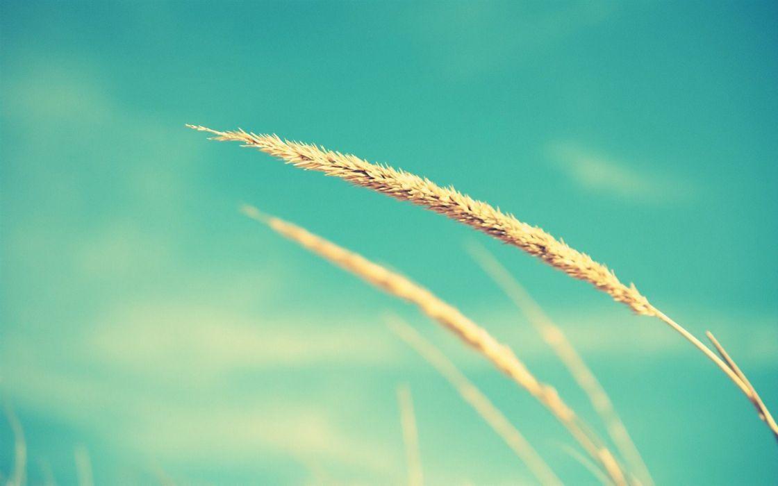 grass wheat skies wallpaper