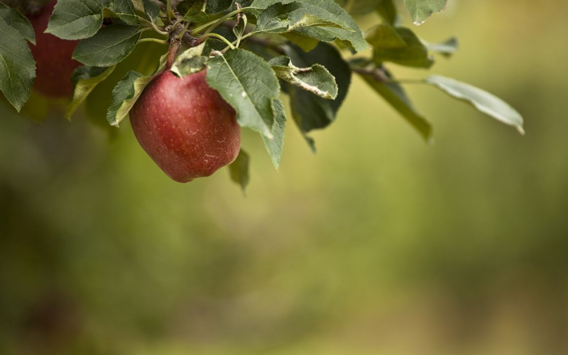 fruits leaves apples fruit trees wallpaper