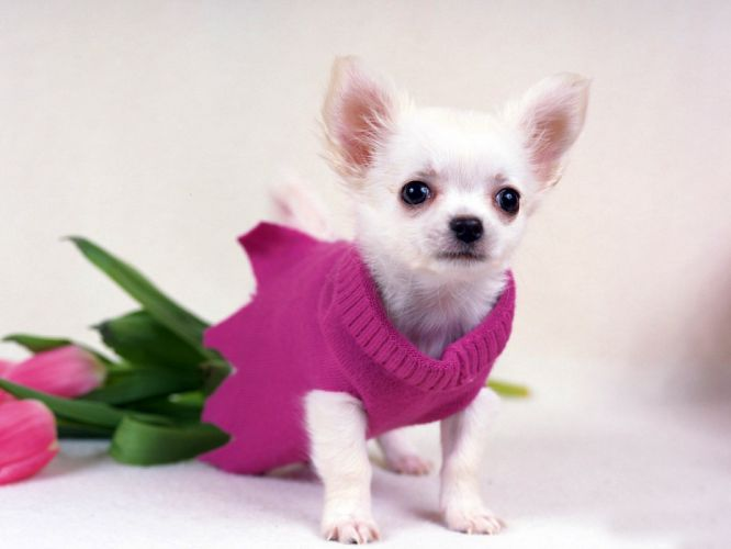 animals dogs tulips chihuahua wallpaper